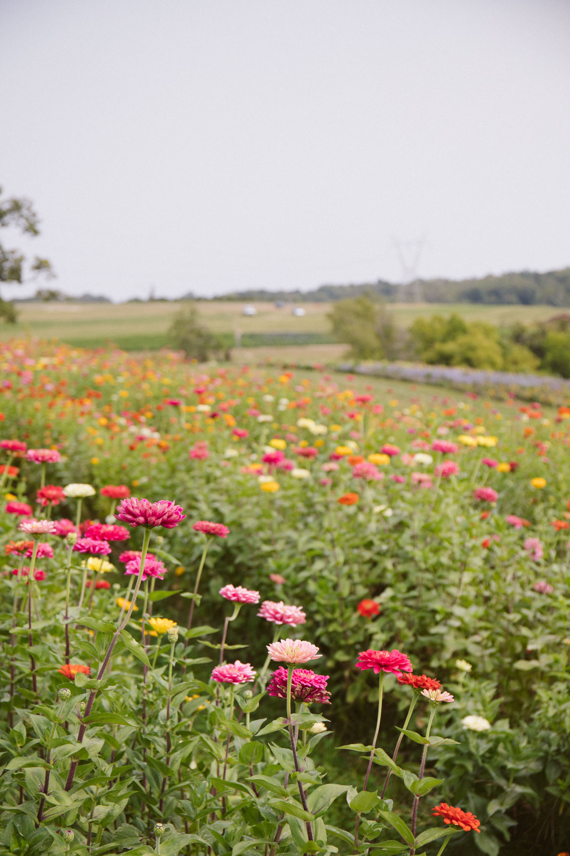 pick your own flowers in Pittsburgh at Simmons farm | flower photography fall photographer